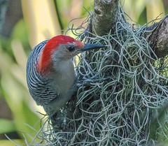 Morning In The Moss (ACEZandEIGHTZ) Tags: avian foraging nikond3200 wings feathers winged nature redbelliedwoodpecker melanerpescarolinus spanishmoss jatrophatree macro closeup bokeh sunrays5 coth5 coth alittlebeauty