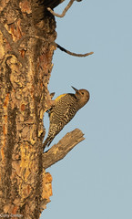 Williamson's Sapsucker (ccbird1) Tags: wisa sapsucker woodpecker