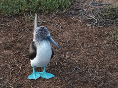Blue-footed booby (xd_travel) Tags: equador galapagos 2014 seabirds booby bluefootedbooby endemic wildlife divingbirds mssamba birdcolony northseymour