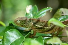 Chameleon-7D2_7766-001 (cherrytree54) Tags: canon7dmkii sigma 150600 madagascar chameleon amber mountain
