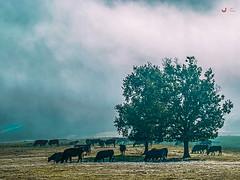 Bakea, lainoa, janaria... (Jabi Artaraz) Tags: vacas pasto araba árbol