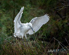 Little egret (Egretta garzetta)-1951 (George Vittman) Tags: bouchesdurhône france birds egret heron flight landing camargue wildlifephotography jav61photography jav61 fantasticnature