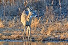 Young Buck (NaturalLight) Tags: young whitetail deer buck pond drink chisholmcreekpark wichita kansas
