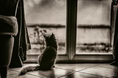 Le petit chat à la fenêtre. (LACPIXEL) Tags: chat chaton cat kitten gato gatito fenêtre window ventana fauteuil armchair sillón regarder mirar looking sony pet mascota animal animaldecompagnie flickr lacpixel