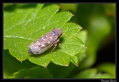 Deltocephalus pulicaris (cquintin) Tags: arthropoda homoptera cicadellidae deltocephalinae deltocephalus pulicaris macroinsectes