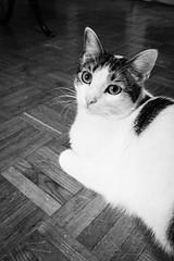 Happy caturday, Max (DavidB1977) Tags: max cat katze chat monochrome nb bw animal apple iphone 7