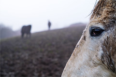 Near and Far (Fitzpaine) Tags: horse horses whitehorse mud muddy muddyhorse mucky dirty farm farmland paddock silhouette field xpro2 fujifilmxpro2 fujixpro2 35mm december winter staplefitzpaine taunton tauntondeane somerset westcountry england uk equestrian equine rural countryside countrylife davidjdalley eye horseeye