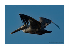 Pelican (prendergasttony) Tags: bird border blue birdwatching birding nikon d7200 tonyprendergast elements florida usa flight feathers beak nature staugustines