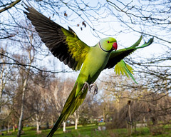 Fly my pretty fly (Paul wrights reserved) Tags: parakeet ringneckedparakeet parrot parrots parakeetinflight ringneckedparakeetinflight bird birding birds birdphotography birdwatching birdinflight animal animals animalantics animalportrait portraitphotography portrait wildlife wildlifephotography wildanimal