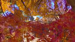 秋 (ajpscs) Tags: ©ajpscs ajpscs 2019 japan nippon 日本 東京 tokyo tokyostreetphotography streetphotography insta360onex 360度カメラ 360°camera 360streetphotography lifein360 tokyo360 tinyplanet shinjuku 新宿 shinjukugyoennationalgarden 新宿御苑 autumn leaves aki 秋 momiji mapleleaves 紅葉 foliage autumnsky