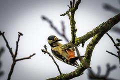 Buntspecht (Deepmike70) Tags: wildlife bird woodpecker vogel specht buntspecht