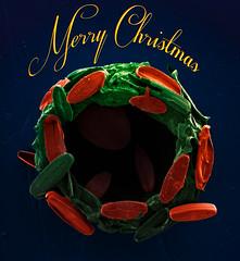 Christmas Coccolith Wreath (Mister Electron) Tags: 15nmplatinum electronmicroscopy fegsem feinovananosem200 fieldemissiongun scanningelectronmicroscope airdried algae aquarium coccoliths coccosphere falsecoloured christmas noel festive holidays navidad