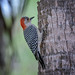 Red-bellied woodpecker on palm tree at Corkscrew Swamp Sanctuary, Naples, Florida