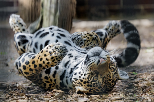 The jaguaress rolling on the floor and enjoying it!