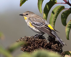 Yellow-rumped Warbler, female (Robyn Waayers) Tags: yellowrumpedwarbler setophagacoronata audubon'swarbler warbler warblers sandiego california robynwaayers