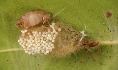 Female (wingless) Tussock Moth (Lymantriinae, Erebidae) with her cocoon and eggs (John Horstman (itchydogimages, SINOBUG)) Tags: insect macro china yunnan itchydogimages sinobug entomology canon moth lepidoptera eggs cocoon lymantriinae lymantriidae erebidae wingless tussock fb
