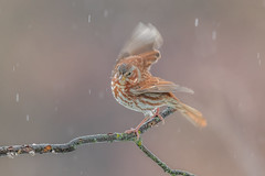 Fox Sparrow (Joe Branco) Tags: green ontario canada branco photoshop lightroom joe foxsparrow wildlifephotography joebrancophotography