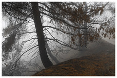 ANF_0215 (Thomas Willard) Tags: forest foothills angeles scar california fire burn national fog rain tree cormacmccarthy wet theroad damp