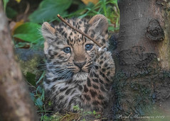Cute and cuddly...for now (muppet1970) Tags: amurleopard cub colchesterzoo zoo bigcat cat captive