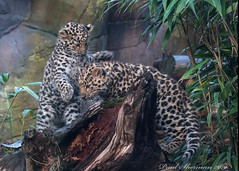 Waiting to attack (muppet1970) Tags: amurleopard cub colchesterzoo zoo bigcat cat captive