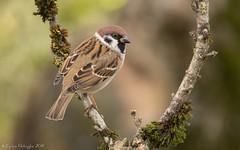 Moineau friquet (DorianHunt) Tags: birds bokeh treesparrow november 2019 switzerland servion backyard nikond500 sigma 150600mm