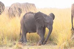 Baby In The Grass (peterkelly) Tags: digital canon 6d africa intrepidtravel capetowntovicfalls botswana chobenationalpark baby elephant choberiver savannaelephant grass grassland savannahelephant