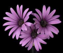 The African Daisy Trio (Bill Gracey 25 Million Views) Tags: flowers flores fleurs purple color colorful trio africandaisy osteospermum offcameraflash yongnuo yongnuorf603n manualmode manualflash macrolens floralphotography nature naturalbeauty