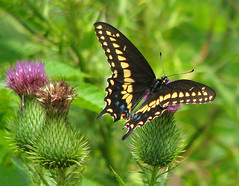 5th Day of Christmas Butterflies:  Black Swallowtail on bull thistle (Vicki's Nature) Tags: blackswallowtail male swallowtail butterfly black yellow spots bullthistle biello georgia vickisnature canon s5 2938 christmas2019 papiliopolyxenesasterius
