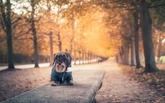 Milonga (Ro Cafe) Tags: milonga doggie teckel dachshund autumn versalles garden park france travel nikkor2470mmf28 sonya7iii