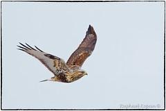 Rough-legged Hawk (RKop) Tags: fernaldpreserve raphaelkopanphotography nikon d500 600mmf4evr ohio