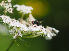 Insect on a flower (Pas Hoen Photography) Tags: flowerphotografie photo photography fotografie foto photographer flowers macrofoto flower macrofotografie macrophotography macro macrophoto utrecht overvecht utrechtovervecht animals animal animalphoto animalphotography insect insects dier park citypark white