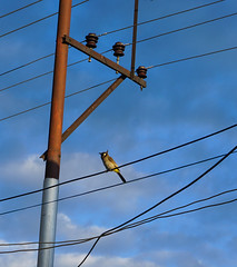 A bird sitting on electric wire (phuong.sg@gmail.com) Tags: hawk adult animal asia avian background beak beautiful beauty bird black blue branch cable claws clear color colorful day detail electric energy environment equipment falcon feather flight flock fly hunter hunting kestrel kite nature outdoor perched perching plumage predator prey raptor score sit sky summer victim wild wildlife wings wingspan wire