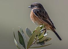 In Profile, European Stonechat (Saxicola rubicola), Wadi Al Wala, Madaba Governorate, Jordan (SW Roller) Tags: europeanstonechat bird animal wildlife nature bush shrub outdoors wadialwala jordan d500
