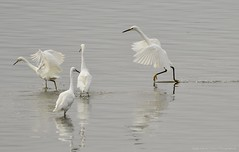 Walk on Water (CindyFullwiler Nature Photography) Tags: snowyegrets egret estuary pond whitebird reserve audubon california pointreyes nationalseashore