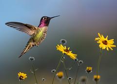 Hallelujah !!! (Patricia Ware) Tags: annashummingbird birdsinflight california calypteanna canon ef400mmf4doisiiusmlens fullframe handheld kennethhahnrecreationalarea losangeles ©2019patriciawareallrightsreserved specanimal