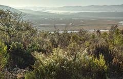 Coyote Brush Blooming Over the Salt Marsh and Lifting Fog (marlin harms) Tags: coyotebrush baccharispilularis morrobayestuary morrobaysaltmarsh morrobaystatepark