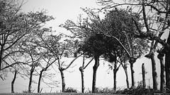No pasarán (Blas Torillo) Tags: hueytamalco puebla méxico mexico árboles trees valla cerca fence hurdle blancoynegro byn bn blackandwhite bnw bw altocontraste highcontrast exteriores outdoors naturaleza nature arte art fineart fineartphotography fotografíaprofesional professionalphotography fotógrafosmexicanos mexicanphotographers nikon d5200 nikond5200
