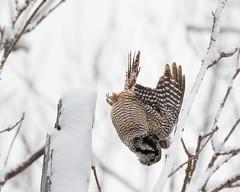 Northern Hawk Owl hunting  Step 2 (dwb838) Tags: winter tree branches hunting flight 8x10 northernhawkowl