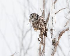 Northern Hawk Owl   step 3 (dwb838) Tags: 8x10 hunting tree vole winter northernhawkowl snow
