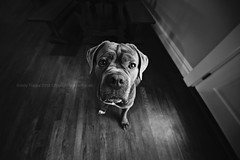 There's always room for one more dog..... (dog ma) Tags: caymus canecorso dog ma jodytrappephotography nikon d750 nikkor 1424mm blackandwhite canine k9 pure breed dogslookingatthecamera