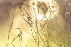Winter dry plants bokeh (Dhina A) Tags: sony a7rii ilce7rm2 a7r2 a7r tamron sp 350mm f56 tamronsp350mmf56 prime ad2 adaptall2 mirrorlens 06b catadioptric reflex cf tele macro manualfocus bokeh lens winter dry plants