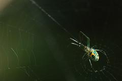 Orchard Spider (BEHP Photography) Tags: micro macro bokeh spiderweb web outside orange green orchard orchardspider arachnid orbweaver spider florida nikond850 nikon nikkor coth5