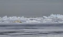 Sweet Dreams (Eden Bromfield) Tags: polarbear seaice floeedge sleep dream nature wildlife canada nunavut bylotisland