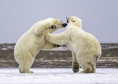 Polar Bear Cubs playing (Tomingramphotography.com) Tags: polar bear arctic cubs play wild wildlife nature alaska kaktovik nikon d5