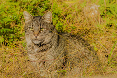 A cat on the roadside (a7m2) Tags: katze cat animals wegrand roadside gras travel streuner