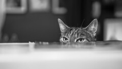 🎵 Jaws Theme 🎵 (sdupimages) Tags: eyes pet noirblanc blackwhite noiretblanc hmbt mbt cat chat bokeh monochrome bw nb animal