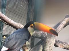Тукан (lvv1937) Tags: unlimitedbirds worldofbirds planetanimalanimalplanet flickrtodayonly1picperday birdsphotos animalsallkinds птица тукан animalplanet