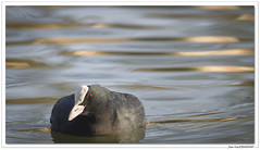 En Alsace : le flotteur ! (C. OTTIE et J-Y KERMORVANT) Tags: nature animaux oiseaux foulquemacroule alsace france