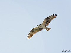 🇺🇸 Osprey KW 4878 (vickyoutenphoto) Tags: vickyouten osprey wildlife nature nikon nikond7200 nikkor55300mm keywest florida usa