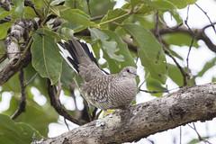 fogo-apagou -Columbina squammata (Ruy de Menezes Coitinho) Tags: aves brasil birdwatching bird beautifulbird canonef100400lis fogoapagou columbinasquammata scaleddove ornitologia ornitology pássaros